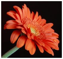 red daisy by mzkate