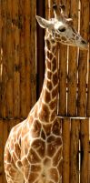 Giraffe by macro-photo