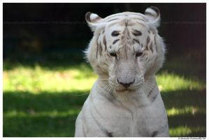 White Tiger II by TVD-Photography