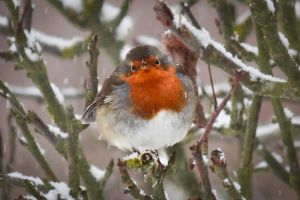 Portrait Of A Robin by ChrisDonohoe