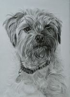 Commission - Border Terrier 'Cassie' by Captured-In-Pencil