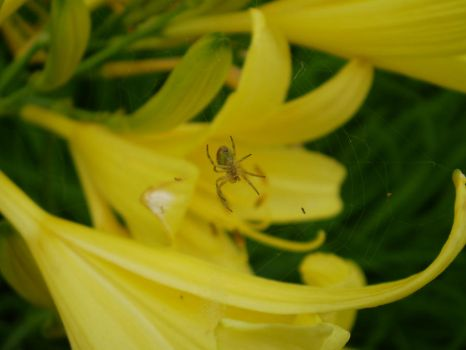 Spider Lily by satin-doll