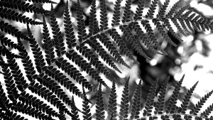 ferns - monochrome by evelynzee