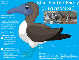 Blue-Footed Booby Reference by WildLifeWarriors