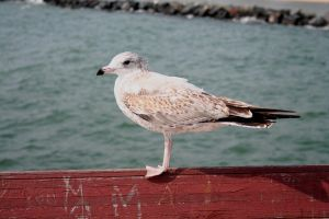 Seagull by Lukasio