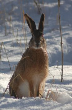 Hare listening by decors