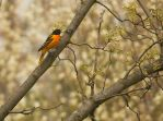 Male Baltimore Oriole May - 2014 - 3 by toshema