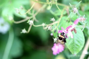 BEE 76 on ragged robin by GeaAusten