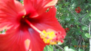 Red And Yellow Hibiscus by Biggerontheinside10