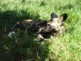 African Wild Dog by lizardman22