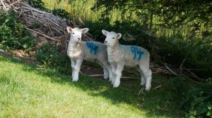 Lambs at Camber by wintersmagicstock