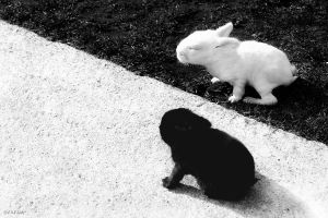 Black and White Bunnies by Bulgair