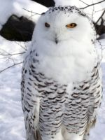snow owl by kokotweety