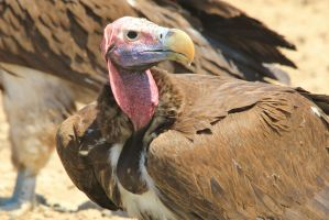 Lappet Faced Vulture - Face of Format by LivingWild