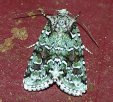 Lacinipolia implicata.....moth by duggiehoo