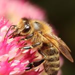 Honey Bee 02 by s-kmp