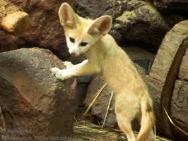 Cute Face Fennec Fox by Mouselemur