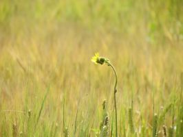 Yellow Thistle by Belthazor1