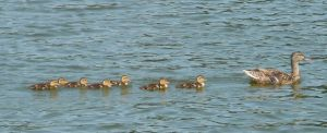 Ducks in a row by Destroyer77
