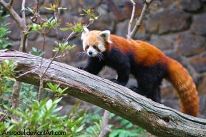Red Panda On a Tree III by amrodel
