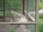 Two White Foxes 3 by Windthin