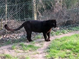2011 - Black leopard 5 by Lena-Panthera