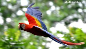 Scarlet macaw in-flight by MadinkaClaireC
