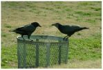crows by JUNO-COYOTE