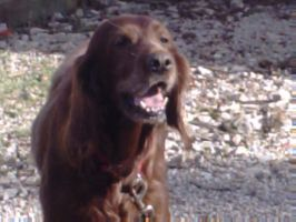 My old Irish Setter by Puppylover5