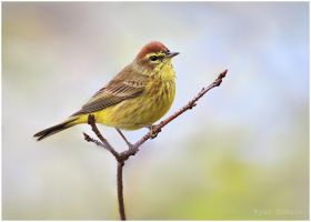 Early Palm Warbler by Ryser915