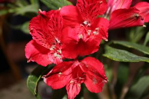Red Alstroemeria by ChroniclesOfChrist
