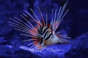 lionfish by mikebass