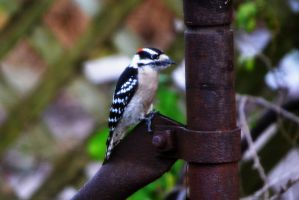 Woodpecker I by tastybedsore