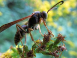 Wasp by beachtownkid