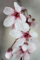 Cherry Blossoms 4 by sd-stock