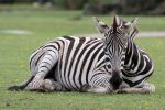 Zebra 04 by LydiardWildlife