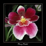Pansy Orchid - full size photo by cymbidium56