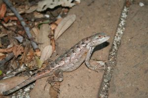Halted Lizard by Dramier