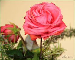 Rose for Thelma by ShlomitMessica