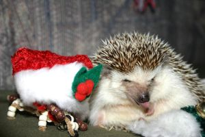 Christmas Hedgie 2 by vrgraphics