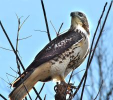 The Incredible Hawk Is Back by richardcgreen