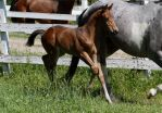 Bay Warmblood Colt 012 by Notorious-Stock