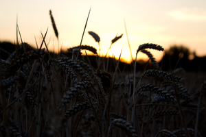 #Wheat by Sophie0300