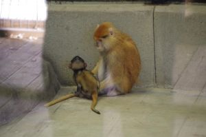 Patas monkey II by Silver-she-wolf-14