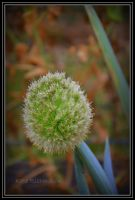 Onion flower by DesignKReations