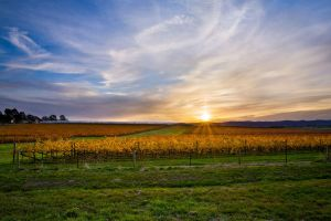 Yarra Valley Vines by Bjay70