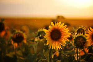 Sunflower and sunset by pohlmannmark