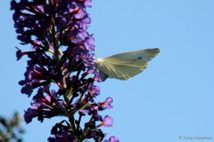 Pieris rapae by jochniew