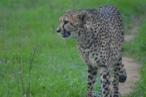 Cheetah 6 by decolesse-stock