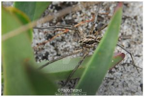 Wolf Spider on Pig Nose by hatefueled